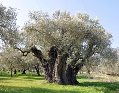 Bir zeytin ağacıyım 1650 yaşında