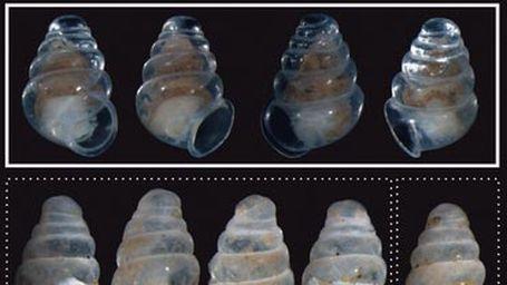 Şeffaf salyangoz türleri keşfedildi