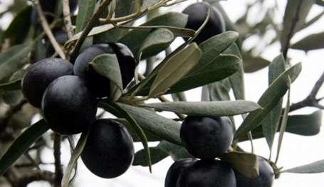 Zeytinin anavatanı Türkiye zeytin ithal edecek