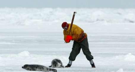 Kanada'da fok avı gerçekleri