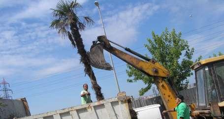 Esenyurt'ta palmiyeler niçin söküldü?
