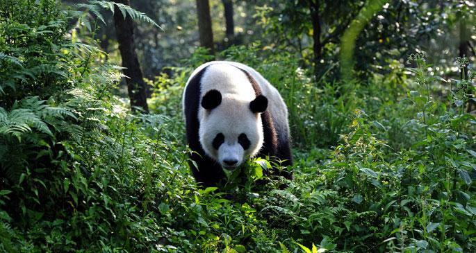 Çin'de vahşi panda bulundu