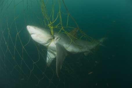 Köpek balığı nesli tehlikede
