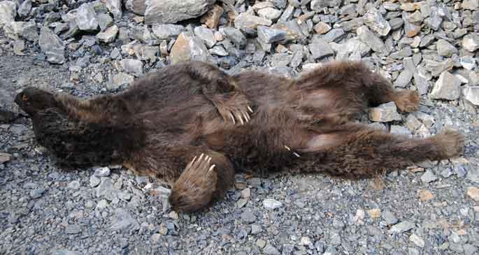 Kaçak avcılar boz ayıyı vurdu
