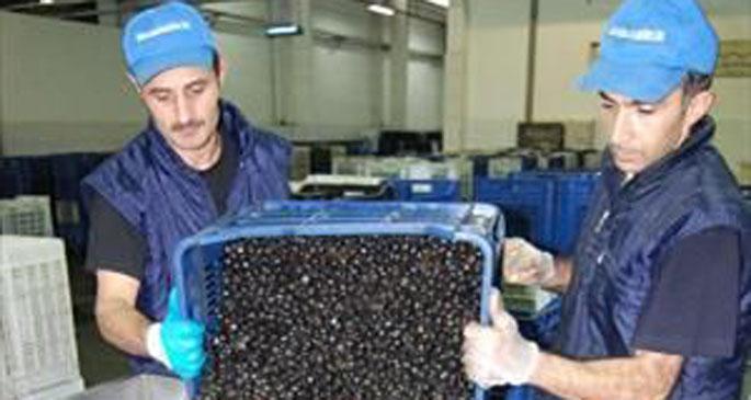 Marmarabirlik ürün alımı başladı