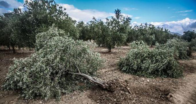Soma'da santral için yine ağaç kıyımı