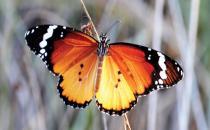 Sultan kelebeklerinin yaşamı tehdit altında