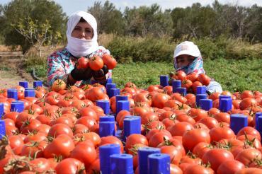 CHP'li Girgin'den soru önergesi: Domates elde kaldı çiftçi perişan, ne yapacaksınız?