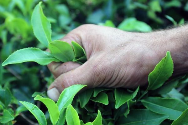 Çay tutan bir işçi eli