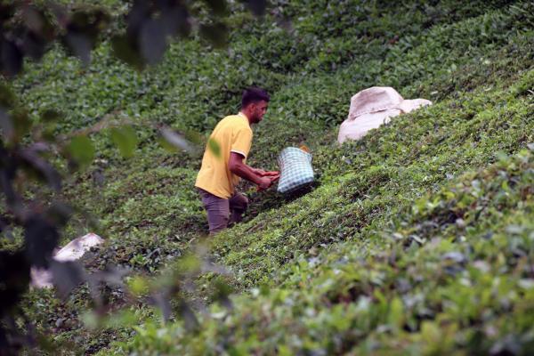 Çay toplayan tarım işçisi