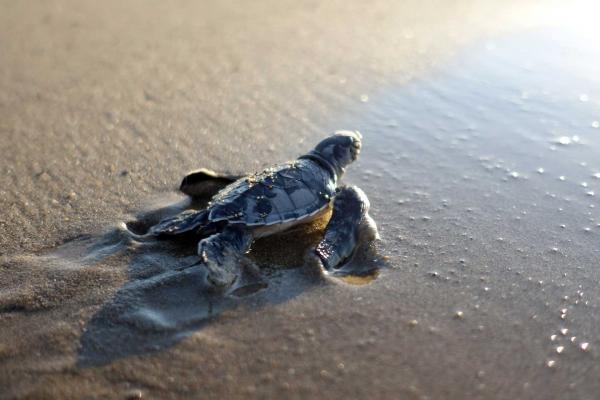 Yavru deniz kaplumbağası
