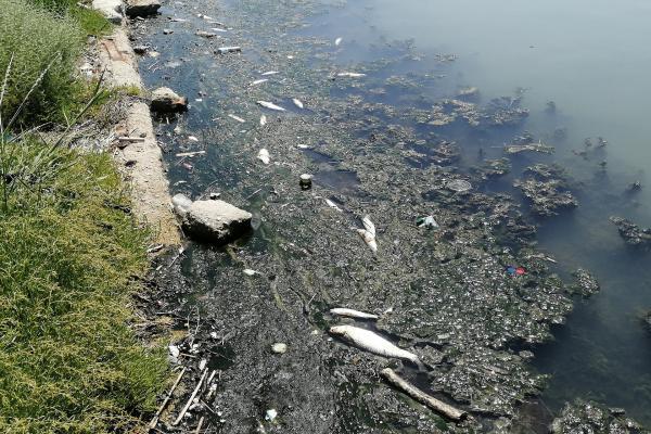 Büyükçekmece Gölünün rengi değişti, ölü balıklar kıyıya vurdu