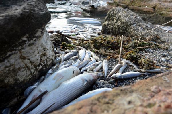 Sahile vuran ölü balıklar