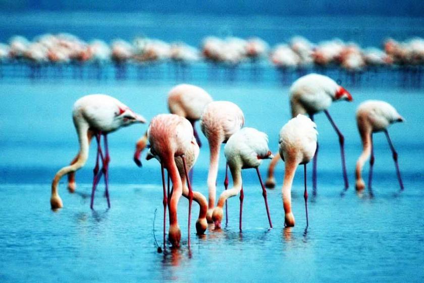 Tuzla sulak alanında flamingo sayısı 6 bine ulaştı