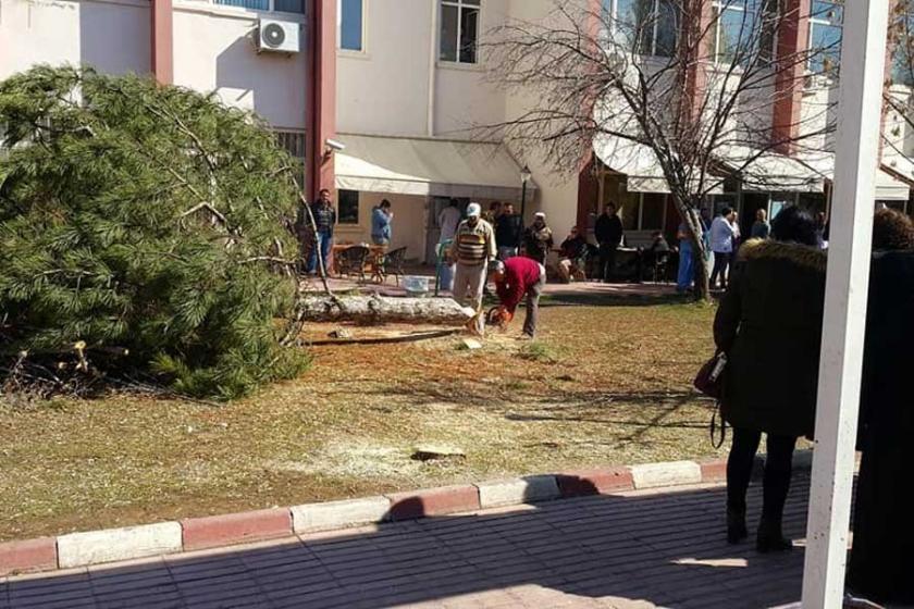 Sivas Cumhuriyet Üniversitesinde bir ağaç katliamı daha