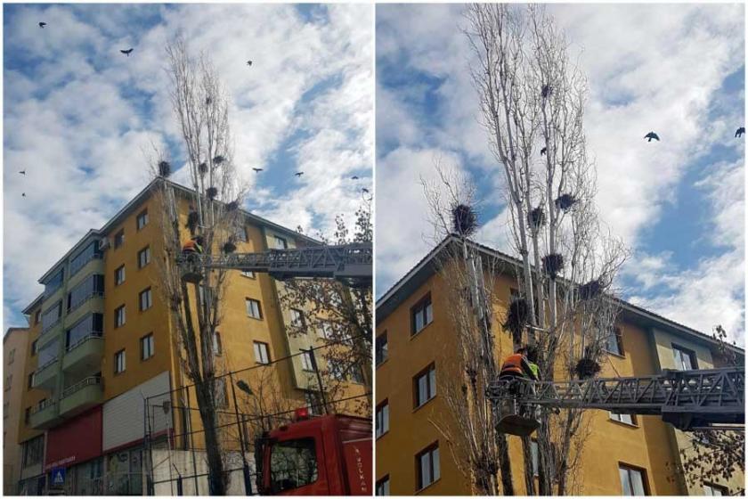 Dersim'de kargadan 'rahatsız oldular', ağaçları kestiler