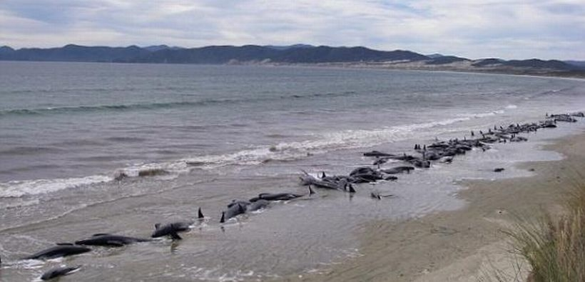 Yeni Zelanda'da 140 balina öldü