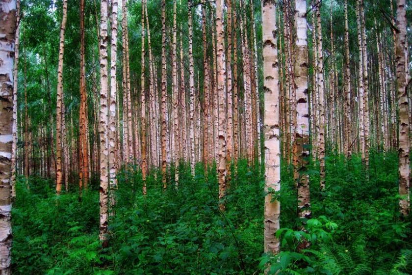 Finlandiya'da ormanları koruma mücadelesi