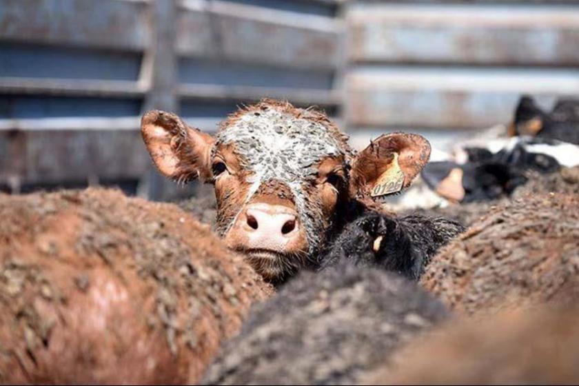 Nazilli'de kuduz karantinası: Köye hayvan giriş-çıkışı yasaklandı