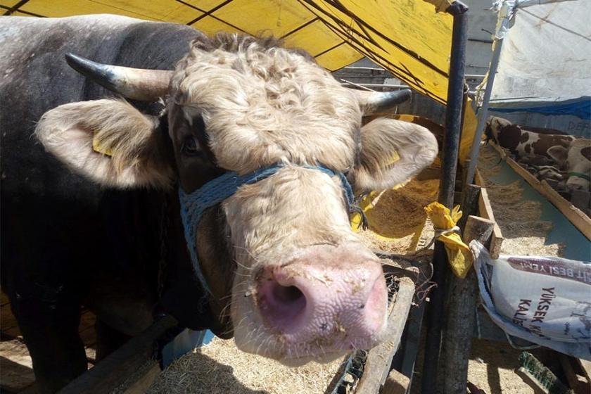 Elde kalan kurbanlığı Et ve Süt Kurumu alacak
