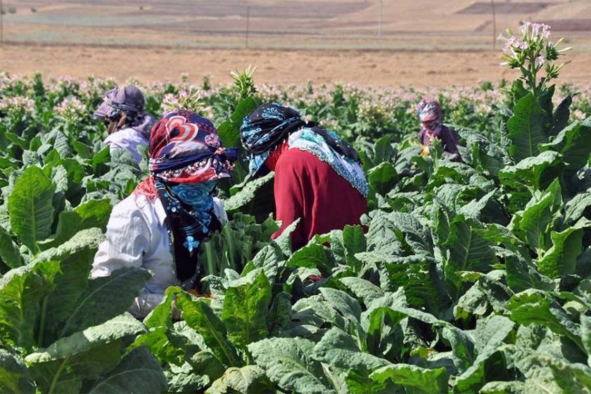 Ülkedeki tütün üretimi yüzde 48 geriledi