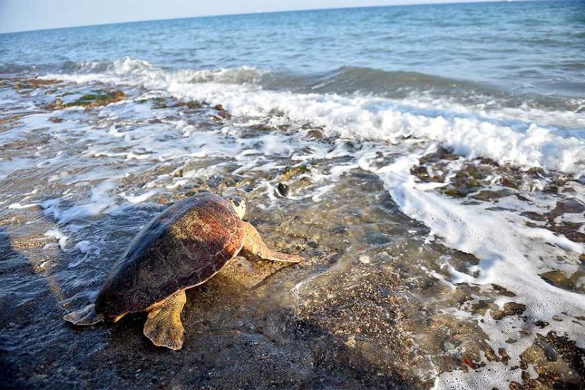 Mersin'de tedavi edilen deniz kaplumbağaları suya bırakıldı