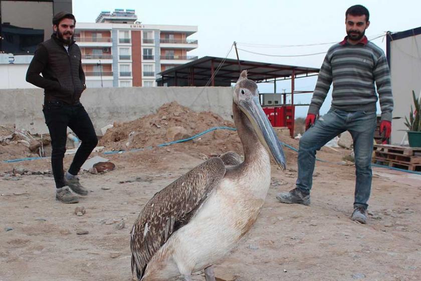 Yorgun pelikan, hastane inşaatı çatısına indi