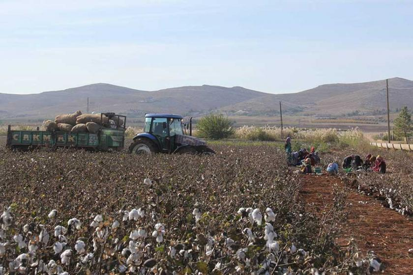 Pamuğun üreticiye maliyeti yüzde 200 arttı, fiyat yüzde 33 azaldı