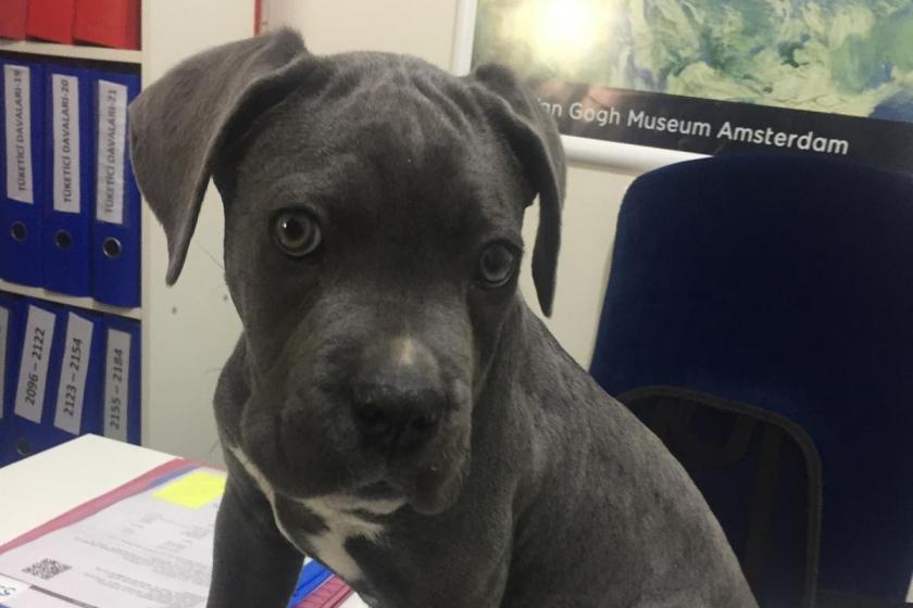 Yavru köpek 'Duman'ın haczedilmesine itiraz edildi