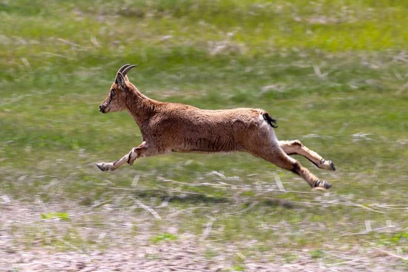 Orman Bakanlığı, tanesi 7 bin 400 TL'den yaban keçisi avı ihalesi açtı