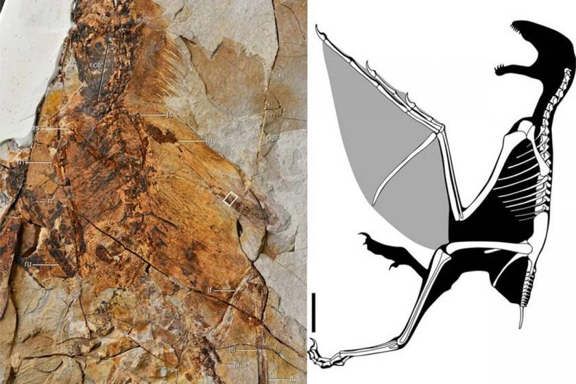 Çin'de yarasa kanatlı yeni bir dinozor türü keşfedildi