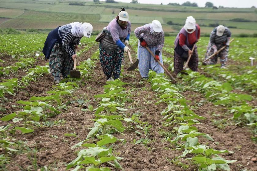 Ayçiçek üreticisine hastalıklı tohum satıldı verim yüzde 40 düştü