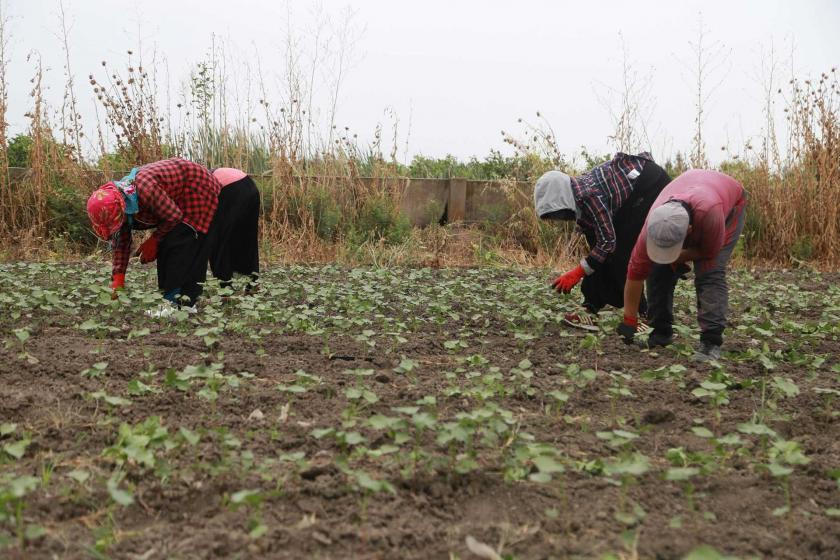 Günlük 62 lira yevmiyeyle çalışan mevsimlik tarım işçileri: Yetmiyor