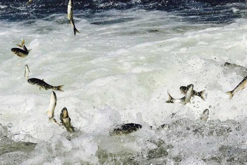 İnci kefalinin göç  yolculuğu sürüyor