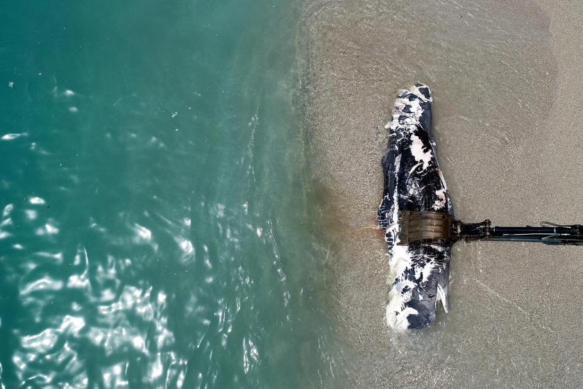 Fethiye'de 3 metre uzunluğundaki ölü balina kıyıya vurdu