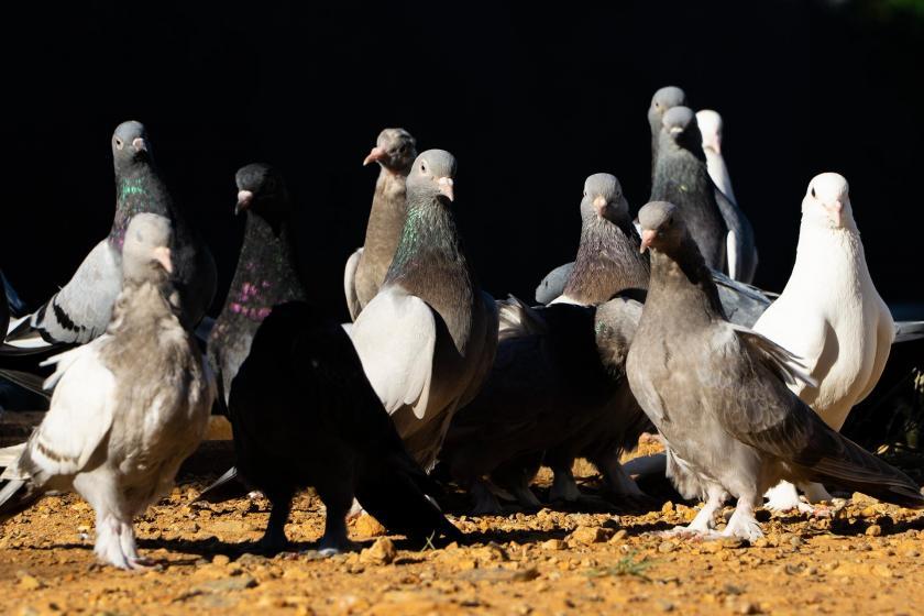 Taklacıgüvercinler