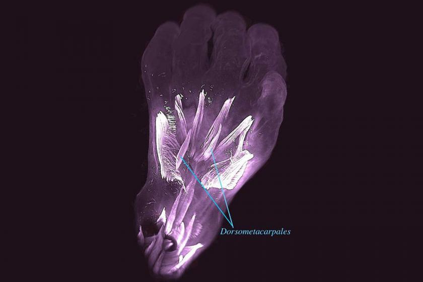 Evrimin insanlardaki en eski kanıtı: Rahimdeki bebeğin elindeki kertenkelemsi kaslar