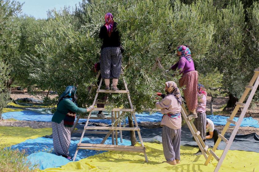 Akhisar'da zeytin hasadı başladı, ürün kaliteli ama rekolte düşük olacak