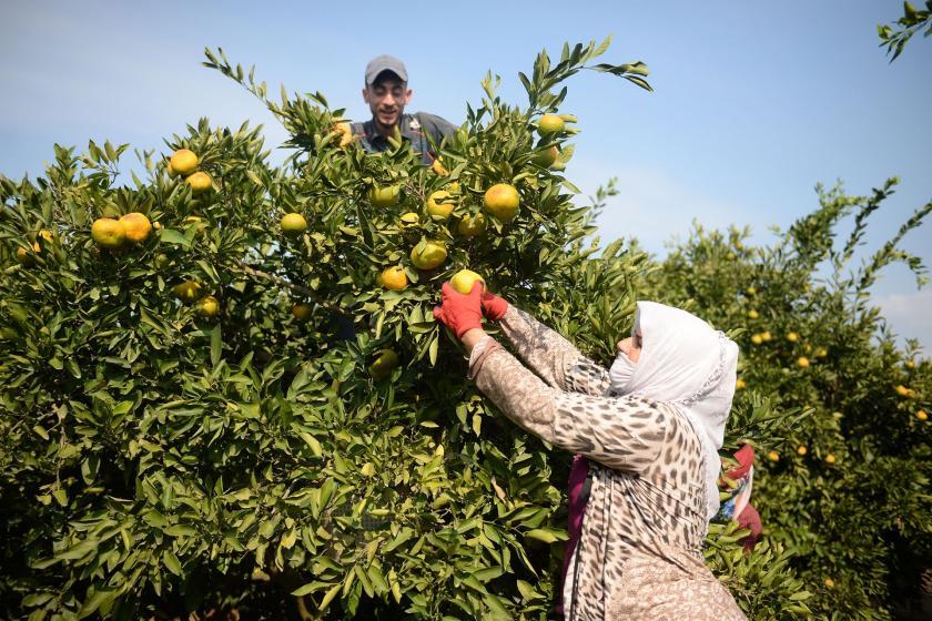 Mandalina üreticisi dertli: Her yıl üretim maliyeti artıyor