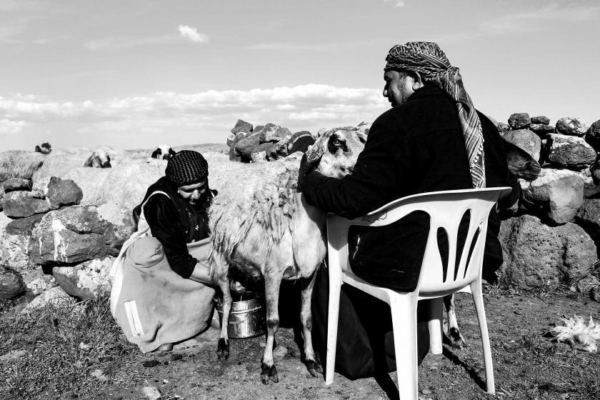 Koyunun sütünü sağan bir kadın ve koyunu turan sandalyeye oturmuş bir erkek.