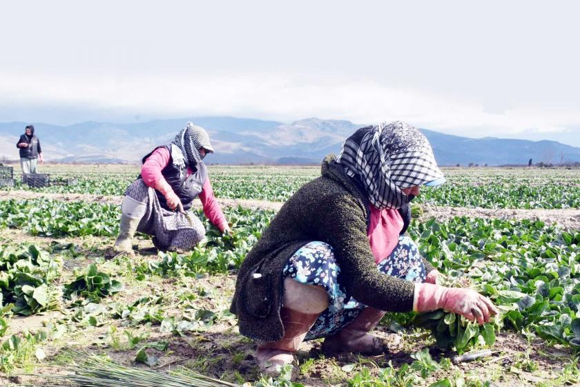 ıspanak toplayan tarım işçileri