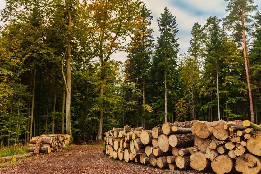 Kesilmiş ağaçlar, arkada orman görüntüsü