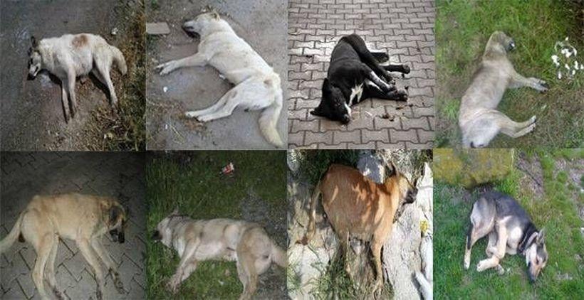 'Köpekleri öldürenler cezasız kalmasın'
