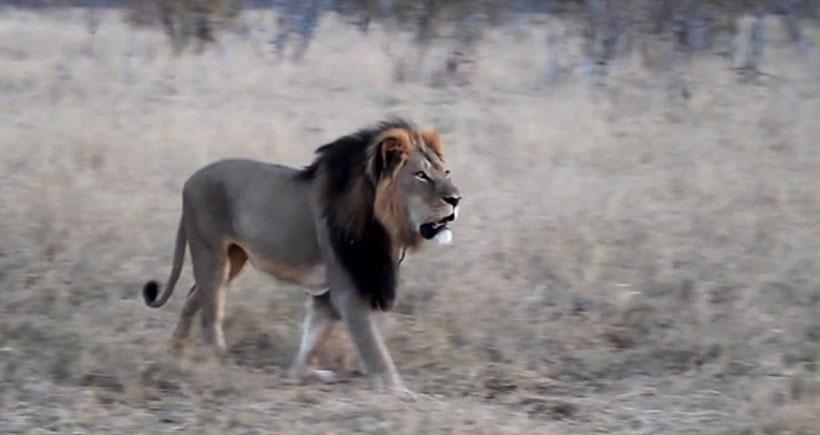 Afrika'nın en çok fotoğraflanan aslanı Cecil öldürüldü