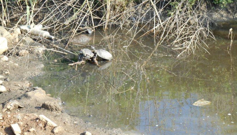 'Çevre dostu' belediye kaplumbağaları diri diri toprağa gömdü!