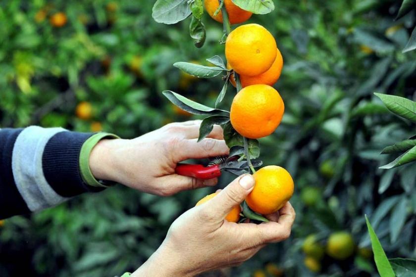 Çukurova'da üretici umudunu ihracata bağladı
