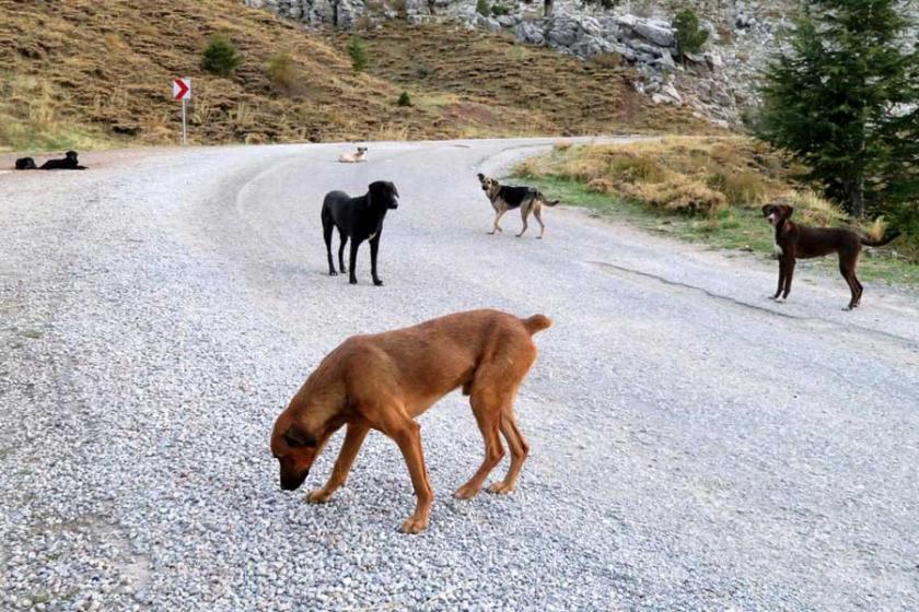 Onlarca köpek Gidengelmez Dağları'na terk edildi
