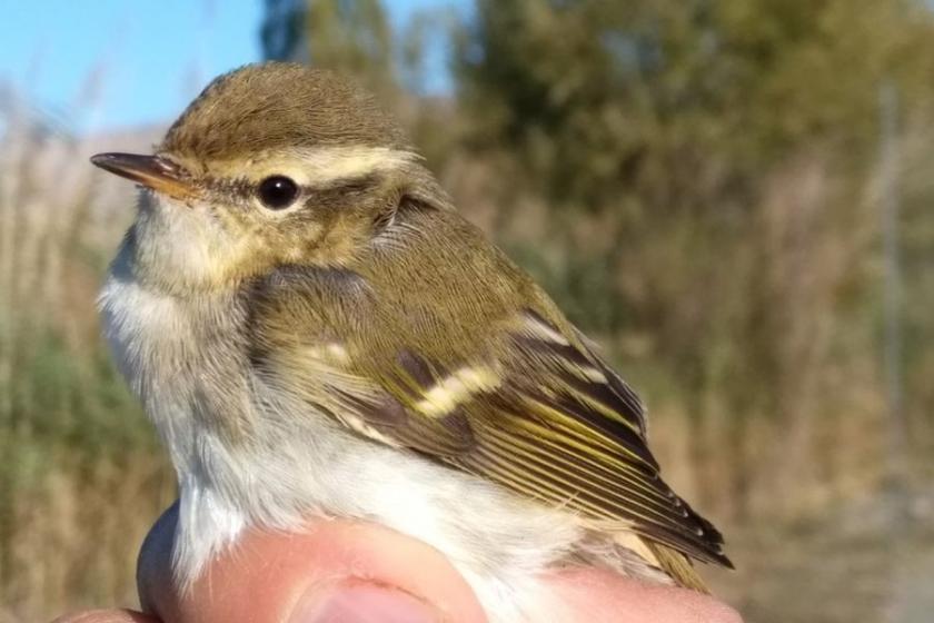 Kuş Cenneti'nde 270'inci kuş türü halkalandı