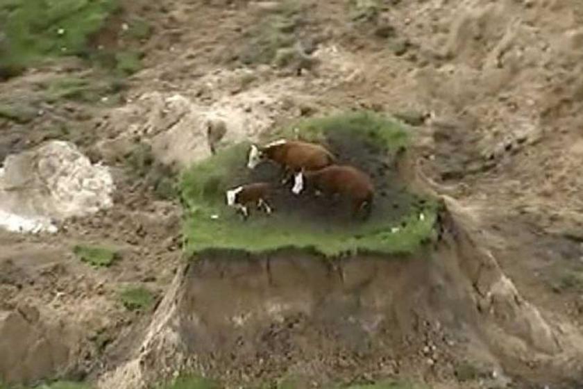 Yeni Zelanda'da deprem sonrası 3 inek mahsur kaldı!