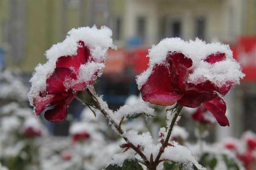 Nevşehir'deki çiçekler kar altında